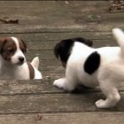 Jack Russell Puppy Play Time