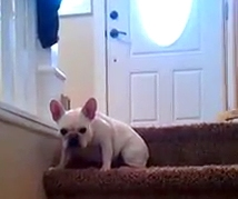 French Bulldog Lizzy Guarding the Stairs