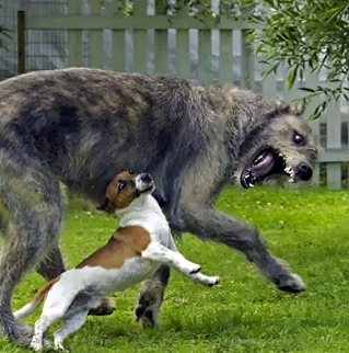 Jack Russell Terrier Vs Irish Wolfhound Life With Dogs