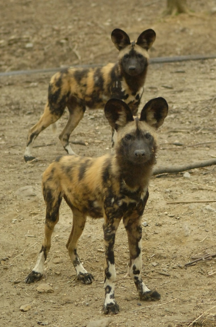 Conservation Plan Will Protect Ethiopia's Painted Dog Population