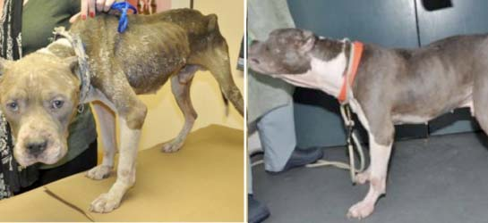 ASPCA Arrests Brooklyn Resident for Neglecting, Starving Dog