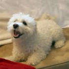 The Saturday Pet Blogger Hop: Dawson's Bichon Blitz