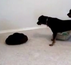 Dog vs. Dog Bed