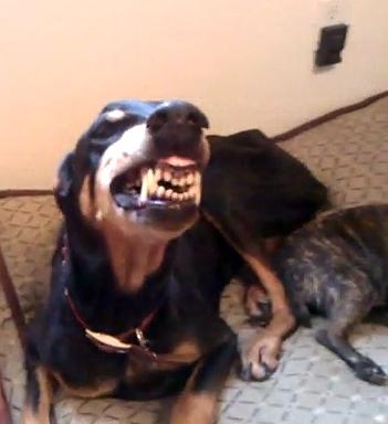 Jesse the Smiling Doberman