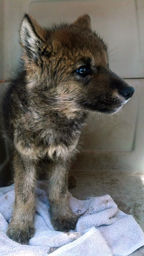 Only to learn that the pup in their possession was an orphaned wolf
