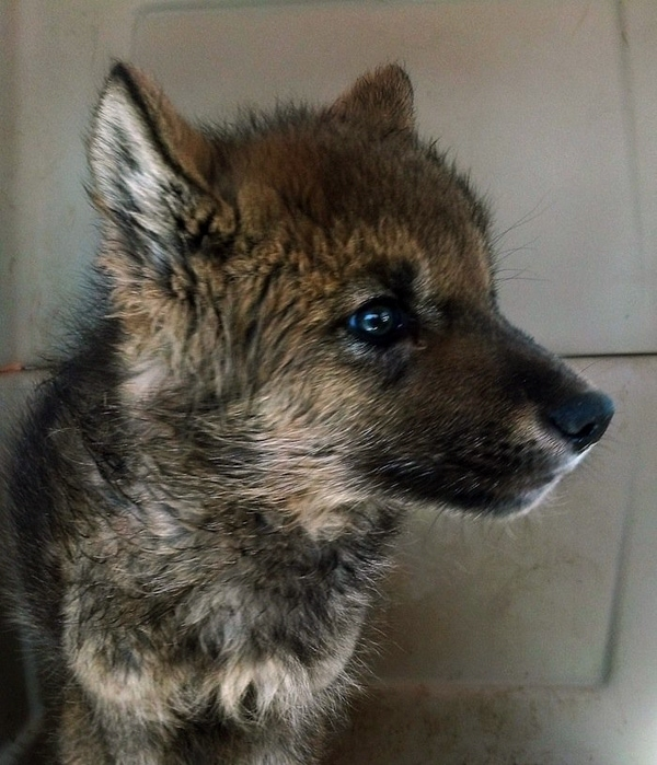 Orphaned Wolf Pup Rescued by Hikers