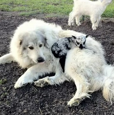 Great Pyrenees Adopts Abandoned Lamb