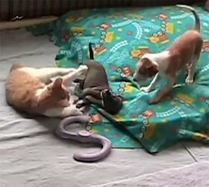 Kitten Wrestles with Ibizan Puppy Friends