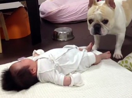 Frenchie Calms Crying Baby