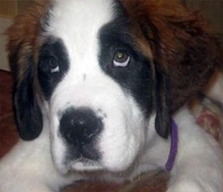 Saint Bernard Sacrifices Self, Saves Family from Fire
