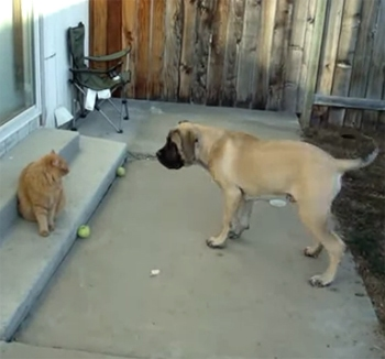 English Mastiff Puppy Wants His Ball Back