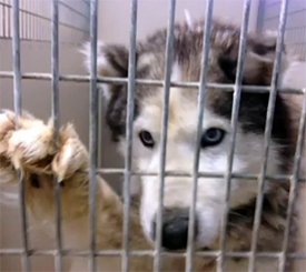 68 Huskies Seized from Breeder, Shelter Requests Assistance