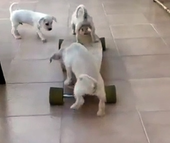 Puppies on a Skateboard