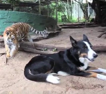 Border Collie and Tiger Cub are Best Friends
