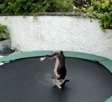 Bouncing Boston Terrier Gets Her Kicks