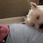 Westie Loves Baby