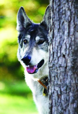 North American Gray Wolf Finds Home as Service Dog