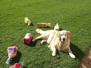 Thieving Retriever Steals Bread for Owner