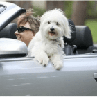 New Laws Require Dogs to Be Restrained in Vehicles
