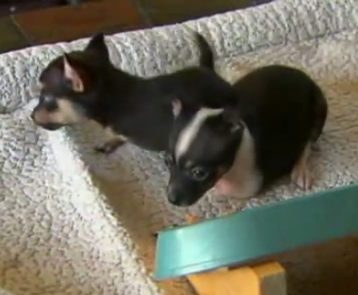 Vet Adopts Abandoned Two-Legged Puppies