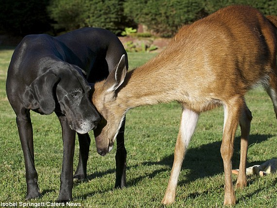 Great Dane Adopts Orphaned Fawn