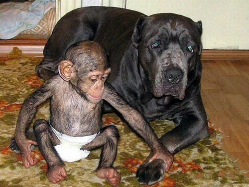 Mastiff Raises Orphaned Chimpanzee Life With Dogs