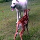 Dog and Fawn are Friends