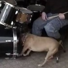 The Saturday Pet Blogger Hop: Drummer Dog Feels the Beat