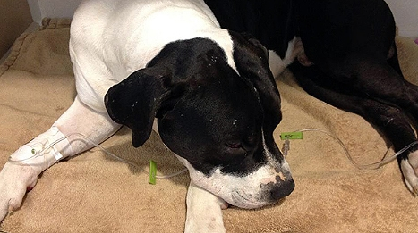 Heroic Dog Shot While Defending Home from Intruders