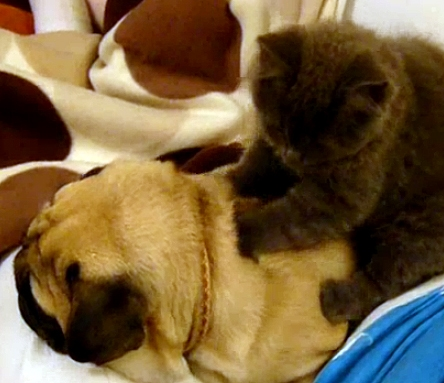 Pug Gets a Massage from His Feline Friend