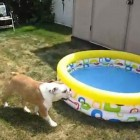 Bulldog Puppy Loves His New Pool