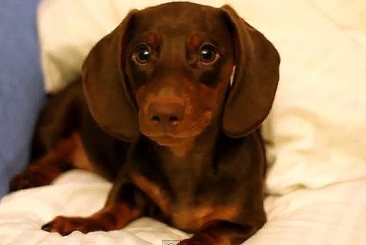 Sassy Dachshund Puppy Doesn't Listen