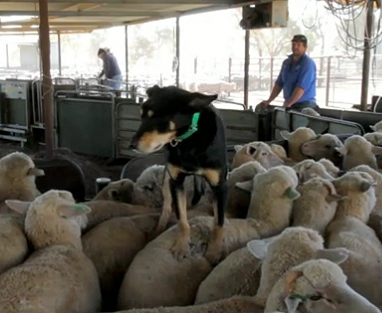 A Day in the Life of a Sheep Dog