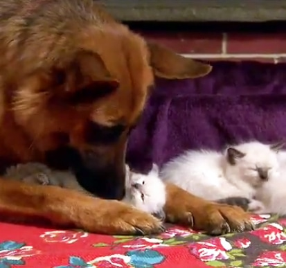 Kittens Befriend German Shepherd