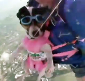Skydiving Dog Loves Adventure