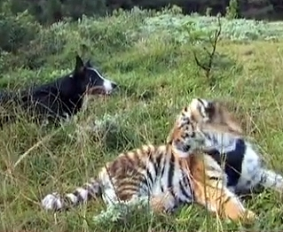 Border Collie Herds South African Tigers