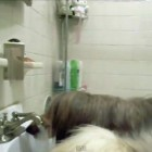 Thirsty Dog Turns on the Sink