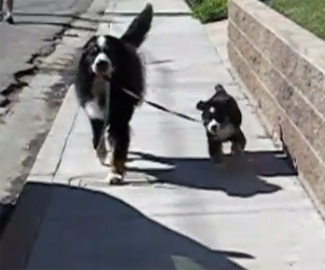Proud Dog Takes New Puppy for a Walk