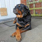 Senior Rottweiler Defends Home, Burglar Traced With DNA Taken From Her Teeth