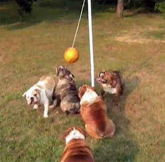 bulldog tetherball tournament life with dogs
