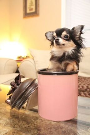 "Tiny Diva, Bebe the Chihuahua, Named ""World's Smallest Dog Model"""