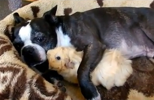 Baby Guinea Pig Obsessed with Boston Terrier
