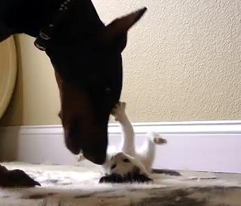 Tiny Kitten Takes on Big Doberman