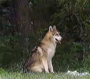 Wolf Dog Adjusts to New Home, New Name