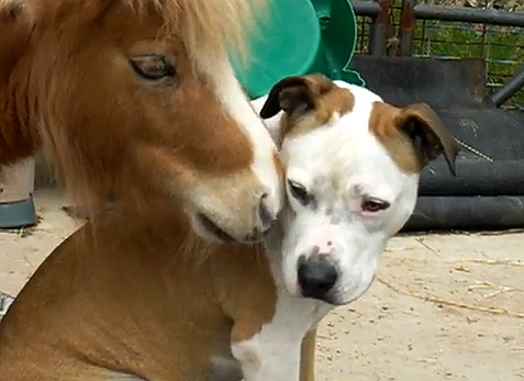 Horse Loves Pit Bull