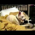 Pit Bull vs Kitten