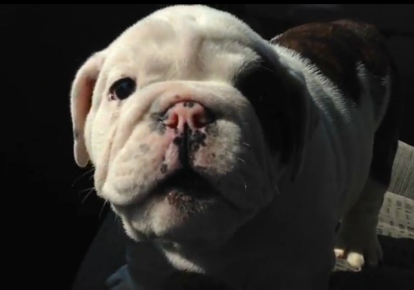 Bentley the Bulldog Puppy is Fussy pt. 2