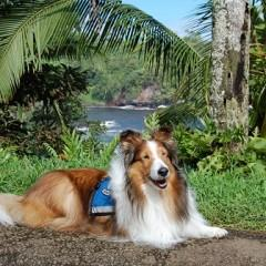 A Collie Named Holly is Honored with Hero Dog Nomination