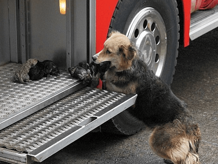 German Shepherd Brings Her Pups to Safety After House Fire Breaks Out