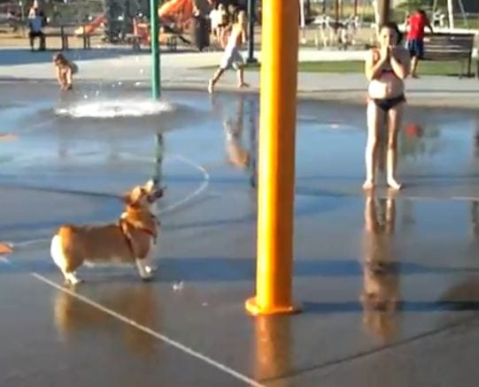 Corgi at the Water Park
